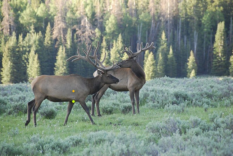 Two Elk Bulls in the forest
